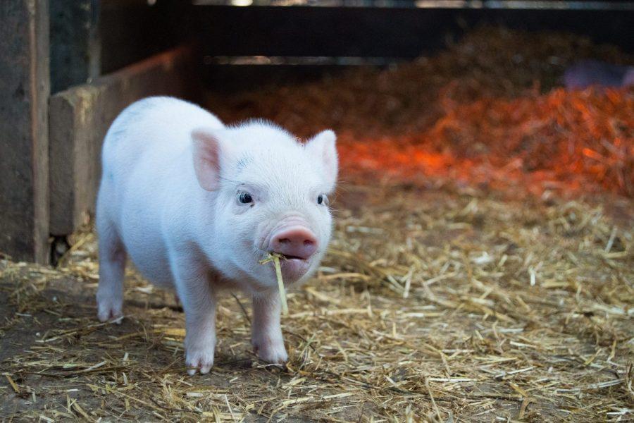 Schweinchen im Glück